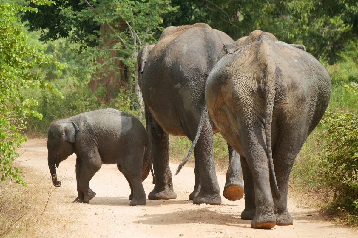 słonie w Udawalawe na Sri Lance