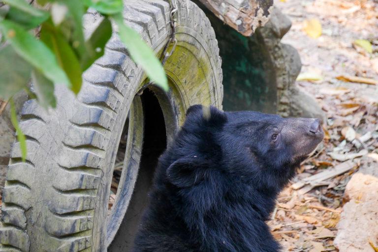 niedźwiedź w Kuang Si w Laosie
