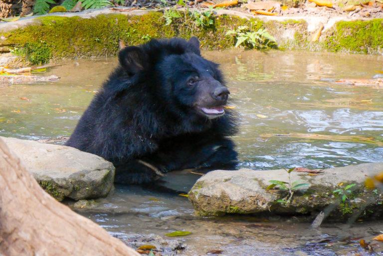 Niedźwiedź w rezerwacie Kuang Si