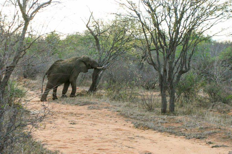 Słoń powala drzewo - RPA