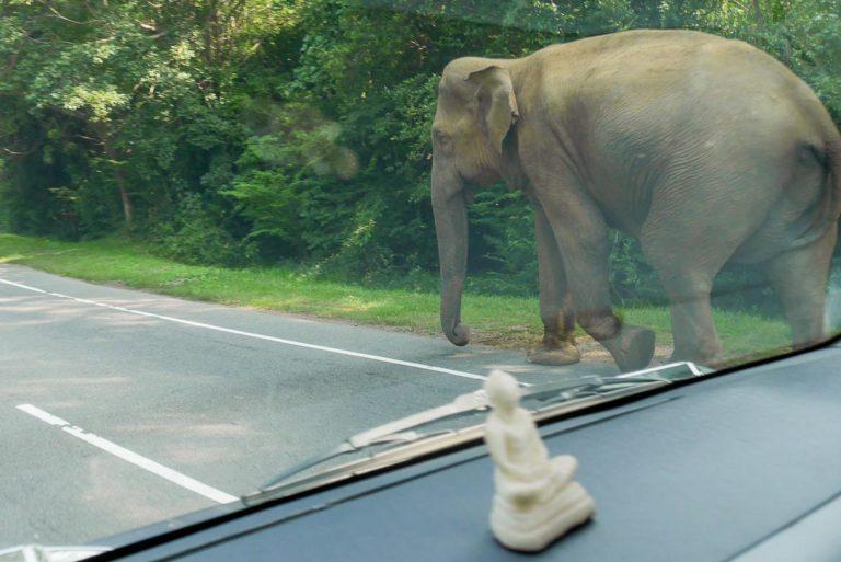 Dziki słoń na drodze - Sri Lanka