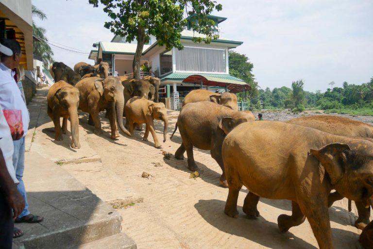 Słonie w sierocińcu Pinawella na Sri Lance