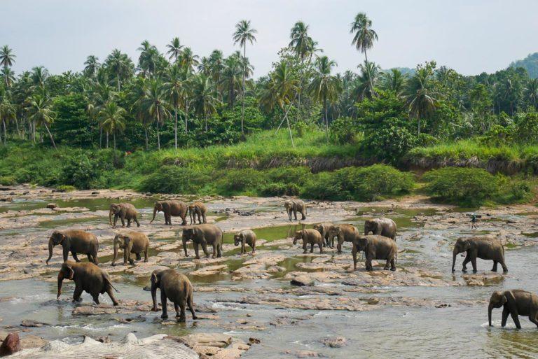 Słonie w sierocińcu Pinnawela na Sri Lance