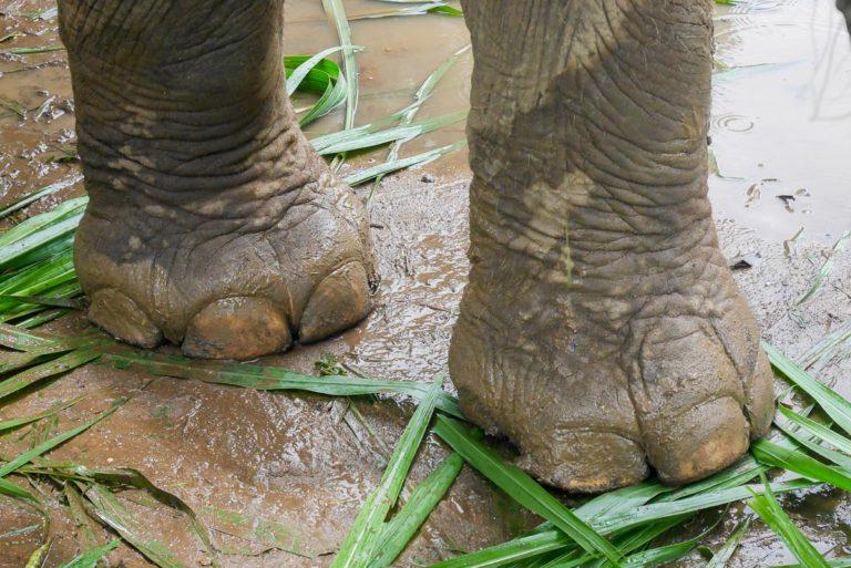 Nogi słonia azjatyckiego