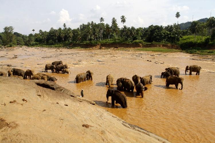słonie w Pinnawela na Sri Lance