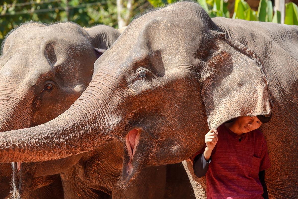 Kornak w obozie słoni