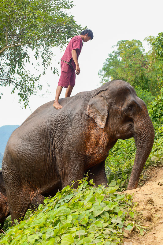 Kornak ze swoim słoniem