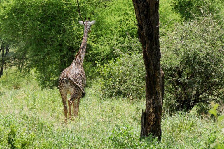 Długoszyja żyrafa
