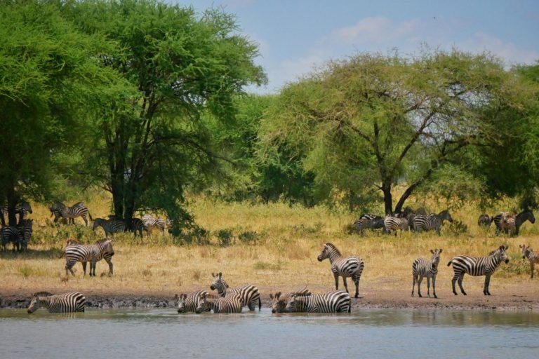 Zebry przy wodopoju