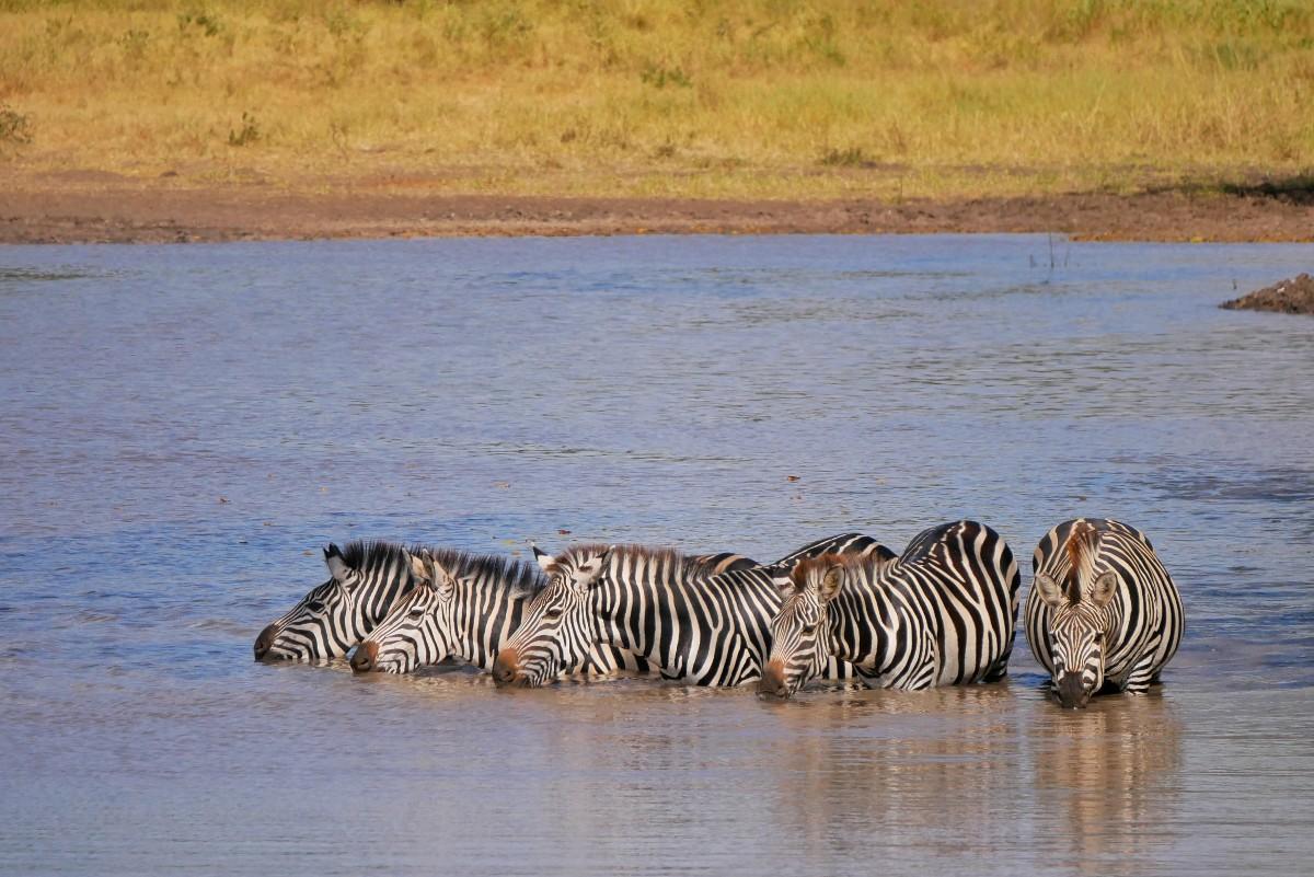 Spragnione zebry