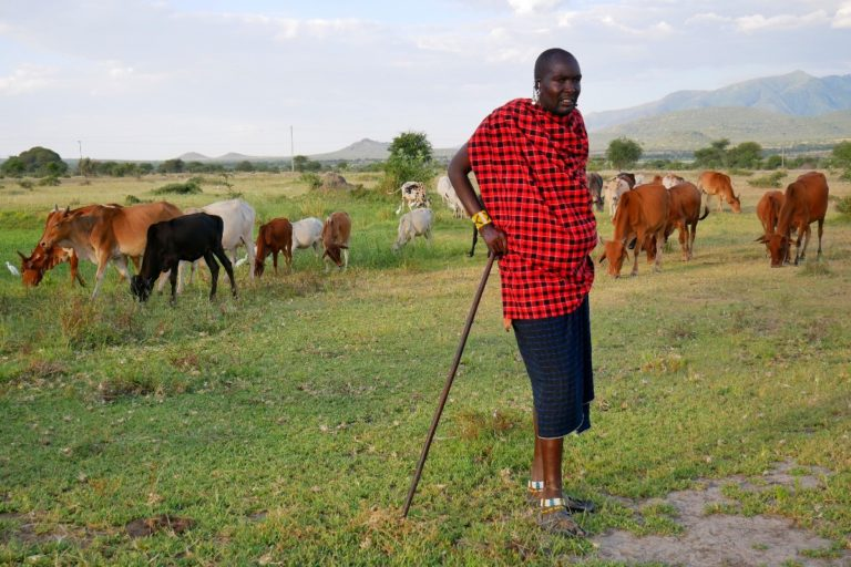 Masajowie zajmują się wypasaniem krów i kóz