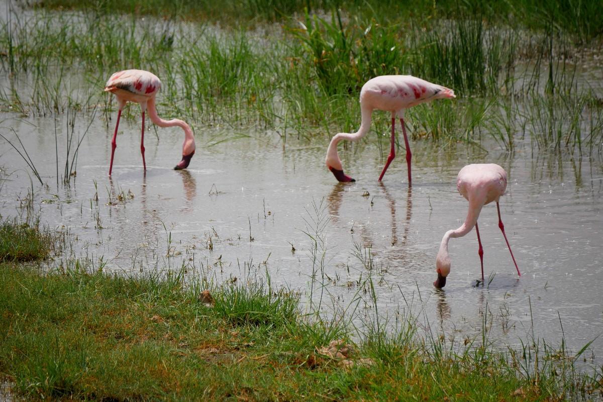 Flamingi różowe