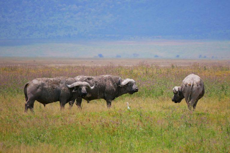 Bawół - należy do Wielkiej Afrykańskiej Piątki