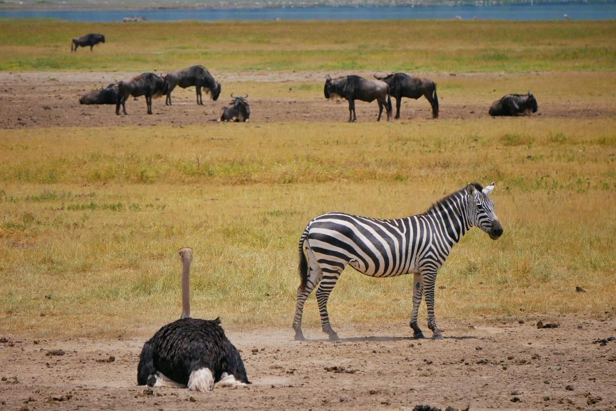 Struś, zebra i gnu