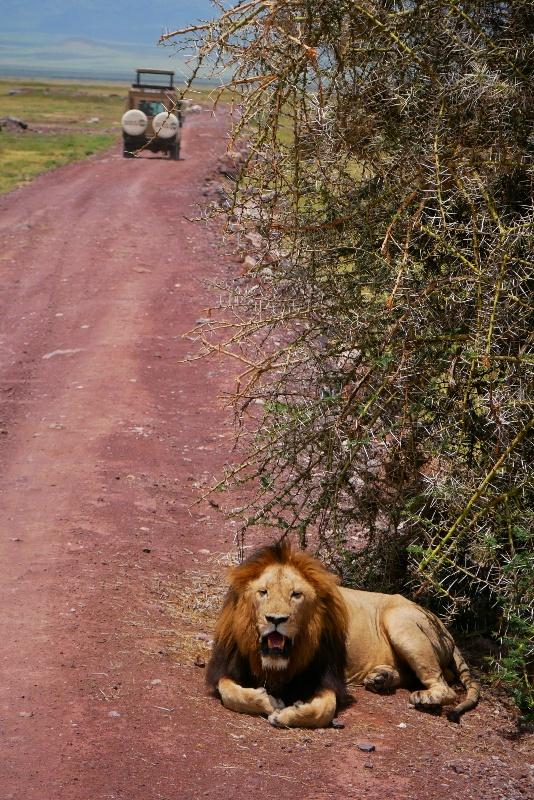 Lew przy drodze czasem się przebudzi i spojrzy na przejeżdżających