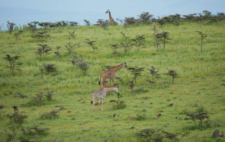 Żyrafy w obszarze chronionym Ngorongoro