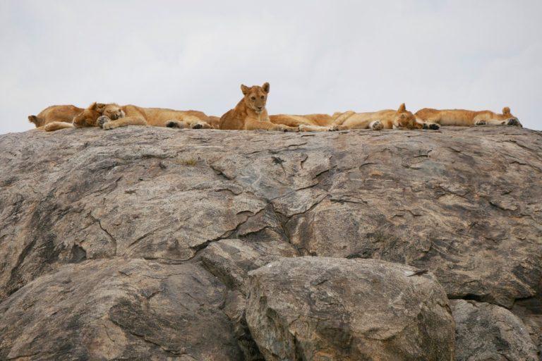 Lwy na skale - Serengeti