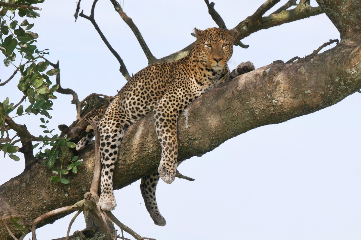 Lampart odpoczywa na drzewie