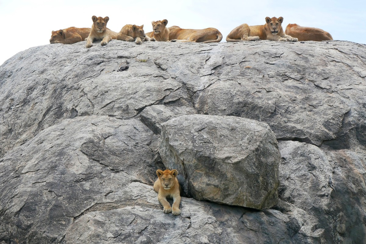 Młode lwy na skale przyglądają się przejeżdżającym turystom