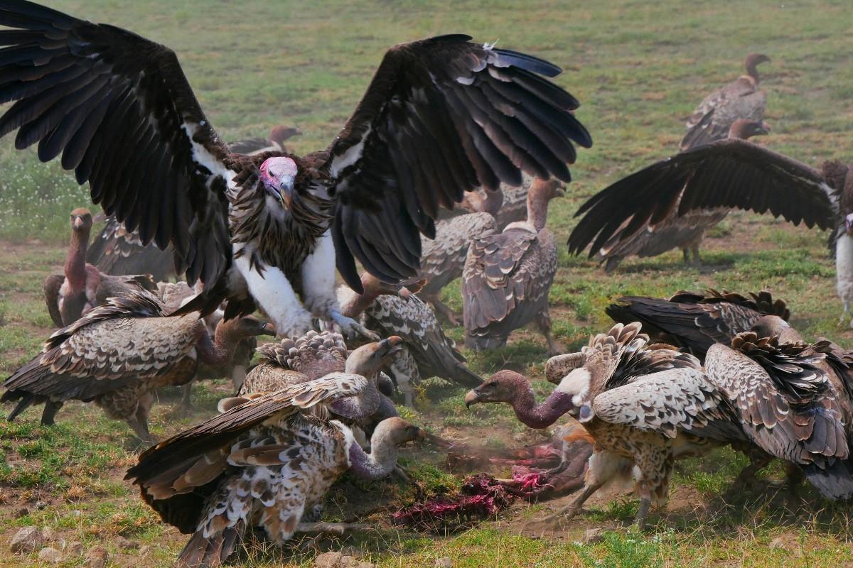Walka sępów o padlinę