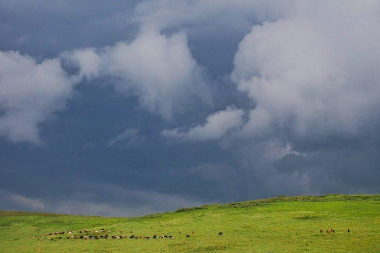 Masajowie wypasają bydło w Ngorongoro