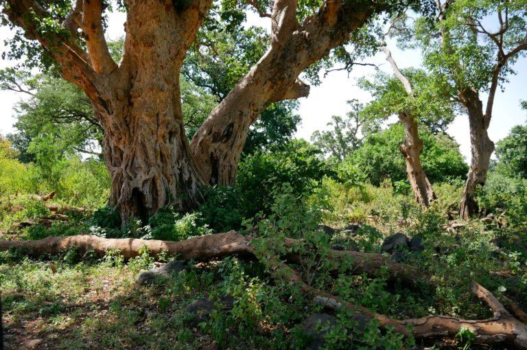 Park Narodowy Manyara jest gęsto zarośnięty