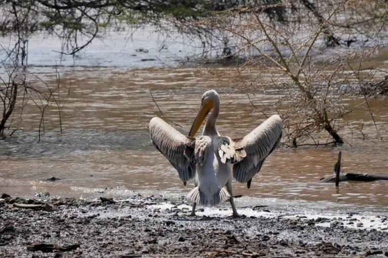 Większą część Parku Manyara zajmuje jezioro. Pelikan