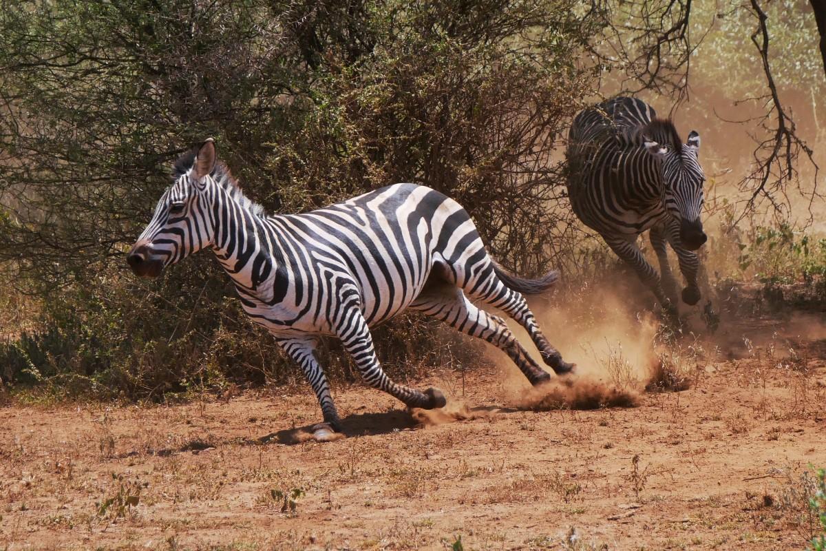 Bawiące się zebry