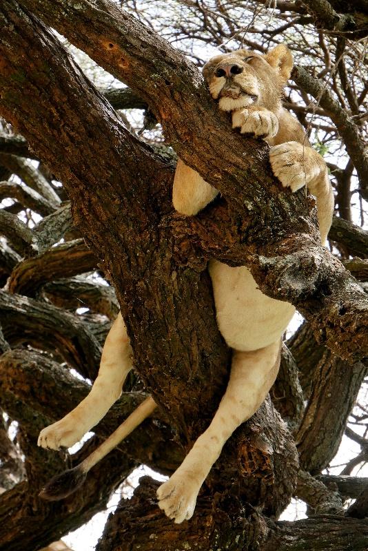 Śpiące lwy na drzewie tuż nad naszymi głowami