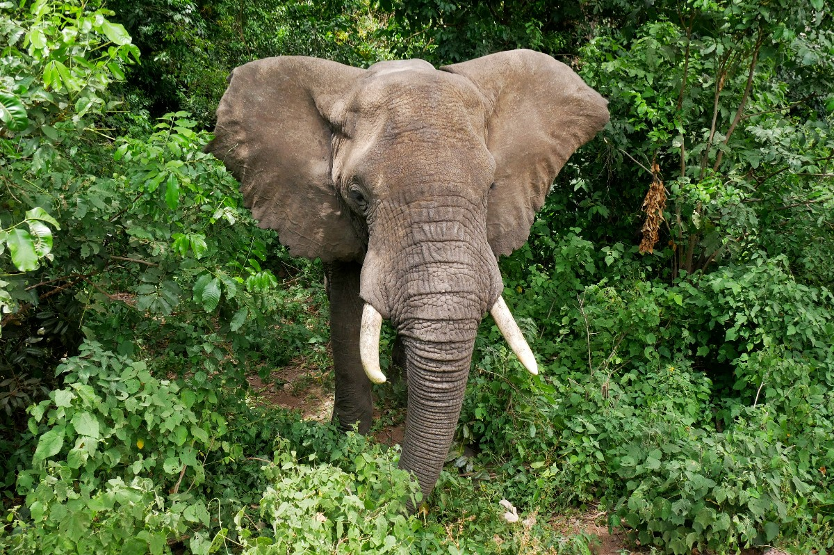 Słoń groźnie machał na nas uszami