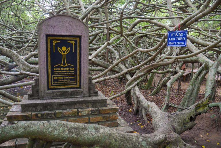 Drzewo zostało wpisane na listę wietnamskiego dziedzictwa narodowego.