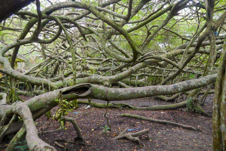 Dziwne kształty konarów magicznego drzewa Gian Gua