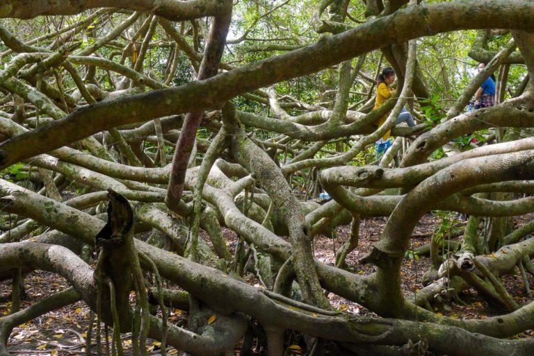Gałęzie drzewa rozpościerają się na obszarze ponad 2700 m kwadratowych