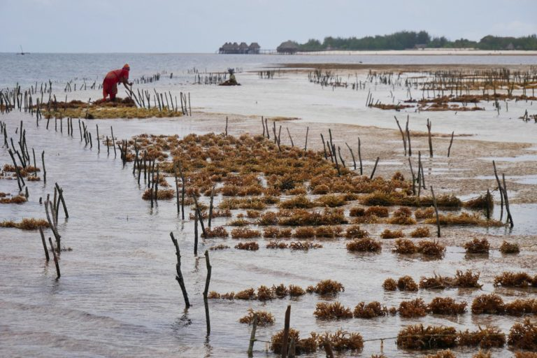Plantacja mwani (algi)