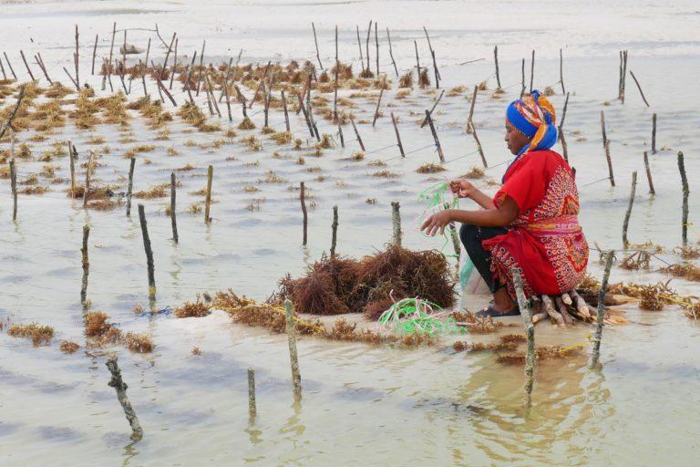 Kobiety pracują na plantacji alg, którą odsłonił spod wody odpływ