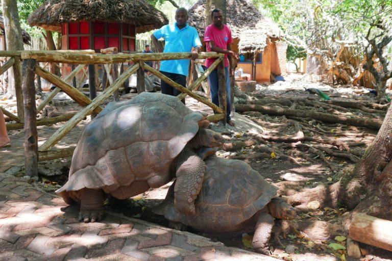 Żółwie przepychanki... lub zaloty