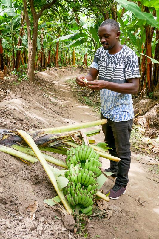 Plantacja bananów
