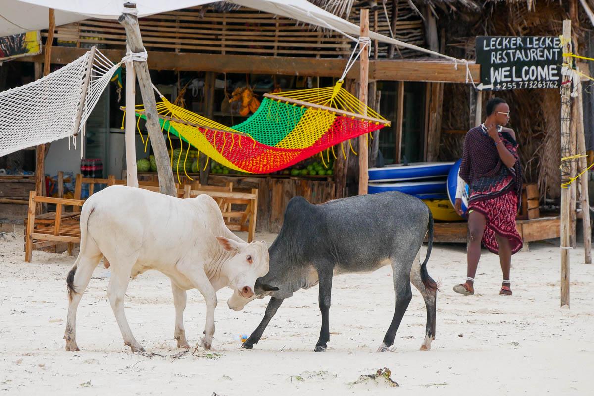 Krowy plażują na Zanzibarze