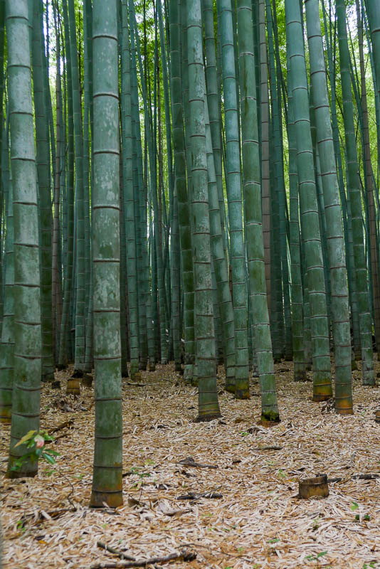 Dawniej bambus był podstawowym materiałem w budownictwie japońskim. Park Sagano w Arashiyama