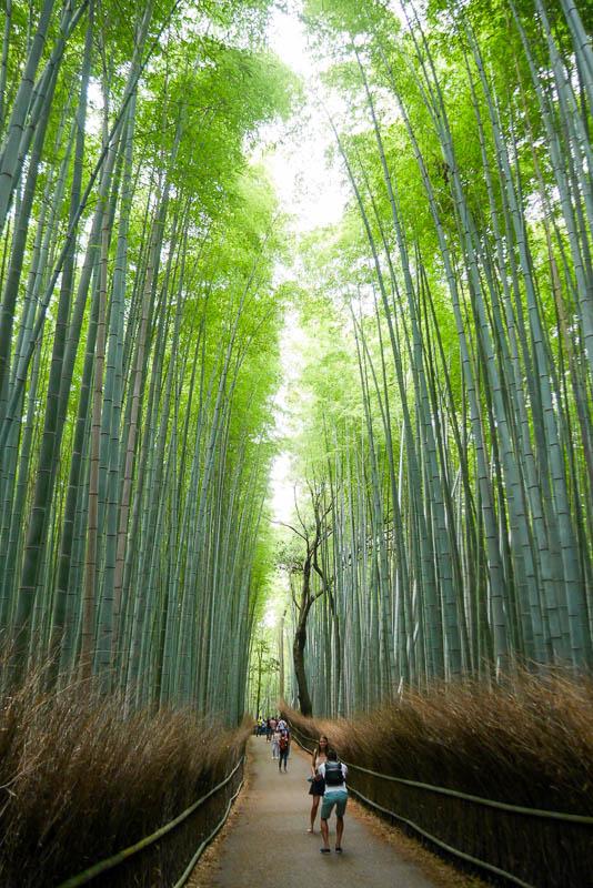 Bambus Moso osiąga 28 metrów wysokości. Park Sagano w Arashiyama