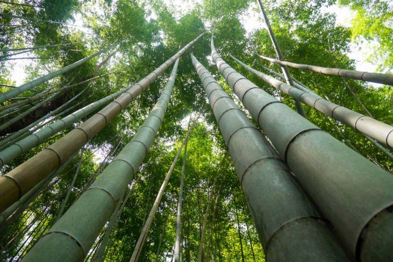 Bambusy kołysząc się wydają charakterystyczny dźwięk, który japońskie Ministerstwo Środowiska wpisało na listę 100 dźwięków Japonii. Arashiyama