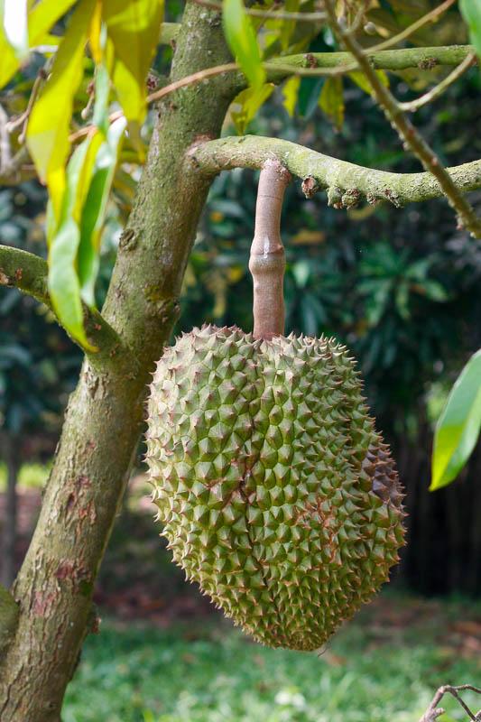 Durian rośnie w Azji Południowo-wschodniej na wiecznie zielonych drzewach, które sięgają nawet 50 metrów