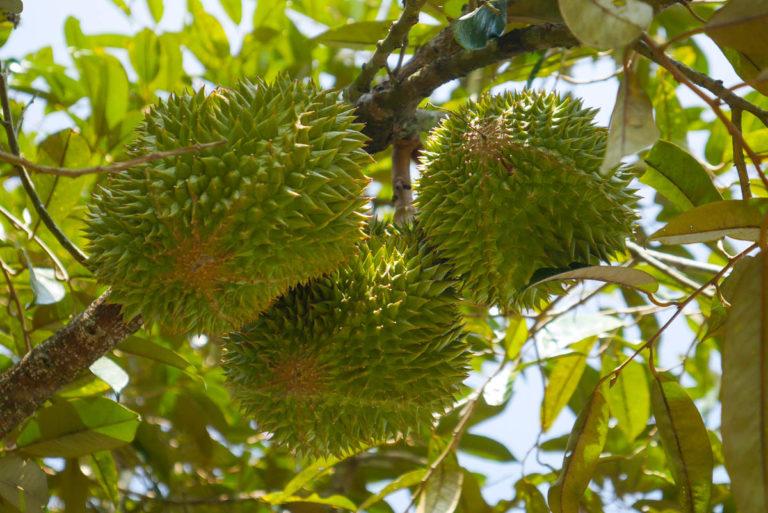 Kwiaty duriana wyrastają bezpośrednio z pnia, lub grubej gałęzi