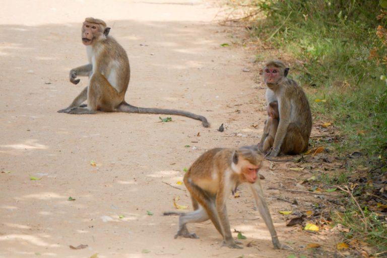 Małpy przy drodze