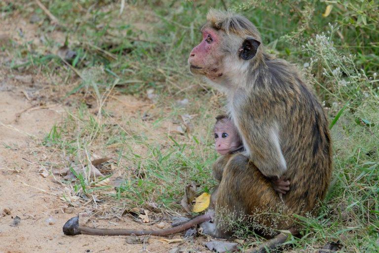 Małpy w Udawalawe
