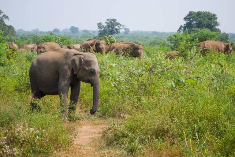 Stado słoni w Parku Narodowym Udawalawe